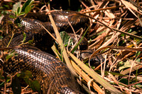 Snake in the grass - Mantadia National Park, Madagascar
