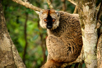 Red Fronted Lemur, Mantadia National Park, Madagascar