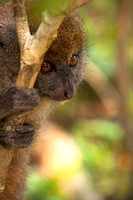 Bamboo Lemur, Mantadia National Park Madagascar